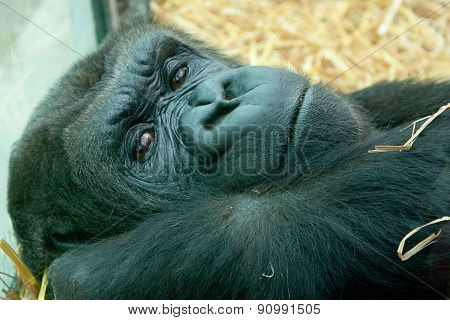 restful female gorilla