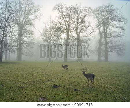 Early Misty Morning With Deer
