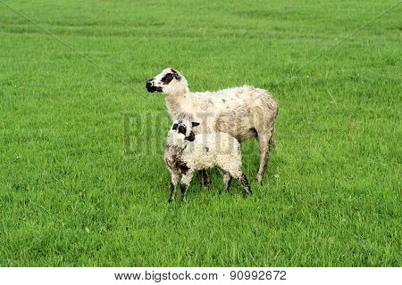 Two Cute Sheep On The Fresh Grass