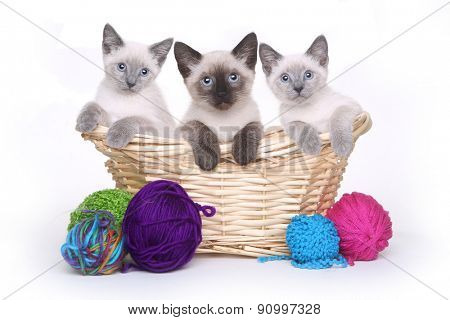 Siamese Kittens on White Background With Basket of Yarn
