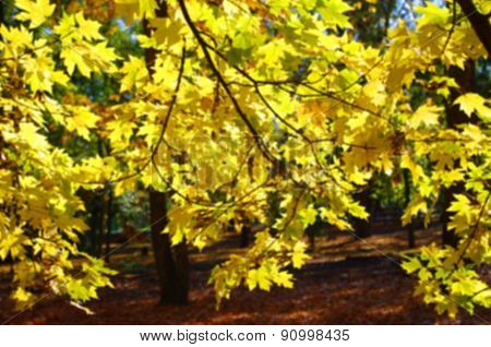 Defocused And Blur Image Of Yellow Maple Leaves