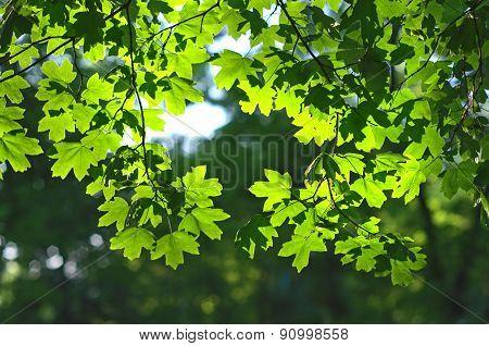 Green Maple Leaves Backlight