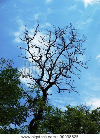 Branch Of Acacia