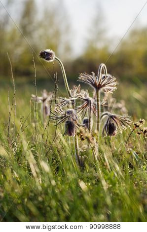 Fresh Pasqueflowers On Spring Meadow