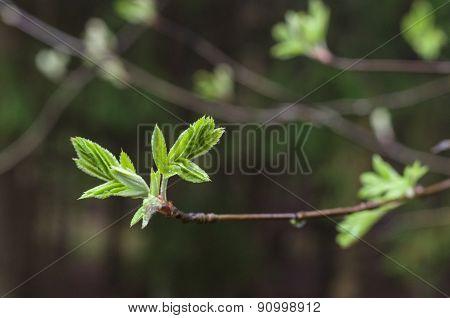 Rowan Tree Natural Fresh Leaves On Dark Background