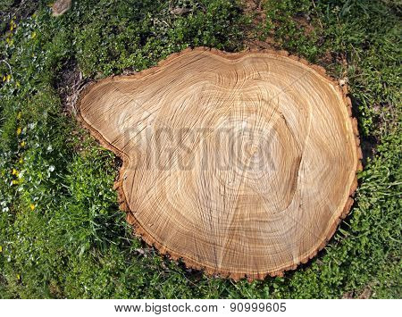 Fresh Cut Tree Stump
