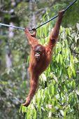 stock photo of orangutan  - Orangutan - JPG