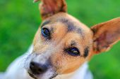 picture of dog eye  - Colour portrait of an obedient Jack Russell pet dog looking up at her owner for leadership - JPG
