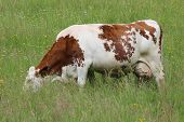 foto of clos  - French cow in a field - Thizy les Bourgs France ** Note: Soft Focus at 100%, best at smaller sizes - JPG