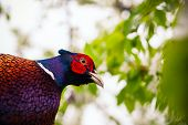 pic of pheasant  - pheasant sitting in the branches of a flowering cherry tree - JPG