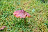 picture of toadstools  - A close up of a brown toadstool in a field - JPG