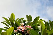 picture of frangipani  - 