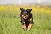 picture of joy  - A dog ran joyfully through a meadow and looks into the camera - JPG