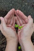 stock photo of tamarind  - Topview of tamarind sprout in human hands shallow depth of field  - JPG