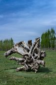 picture of contortion  - Gnarled tree trunk used as a modern sculpture - JPG