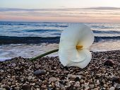 stock photo of calla  - White Calla lily on the sea shore at sunset - JPG
