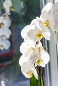 pic of lilas  - Flowers of white orchid in the window - JPG