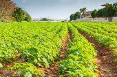 stock photo of potato-field  - Rows on Potato field with green bushes - JPG