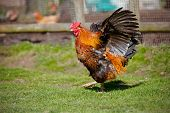 picture of roosters  - one big rooster walking outdoors in summer - JPG