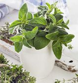 image of oregano  - Fresh herbs - JPG