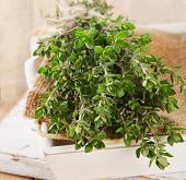 picture of oregano  - Fresh herbs - JPG