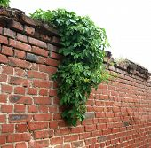 stock photo of ivy  - stone wall of the old brick decorated with green leaves of ivy - JPG