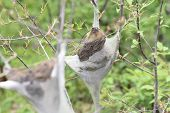 picture of tent  - The Eastern Tent Caterpillar  - JPG