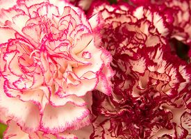 foto of carnations  - variegated carnation flowers macro natural floral background - JPG