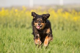 image of border terrier  - A dog ran joyfully through a meadow and looks into the camera - JPG