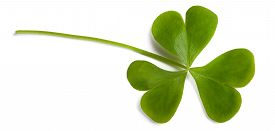 image of sorrel  - wood sorrel leaf isolated on white background - JPG