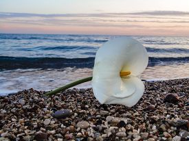 picture of sand lilies  - White Calla lily on the sea shore at sunset - JPG