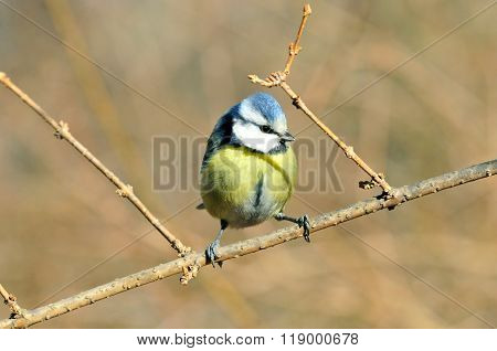 Blue tit sitting on a branch. Ordinary blue tit.