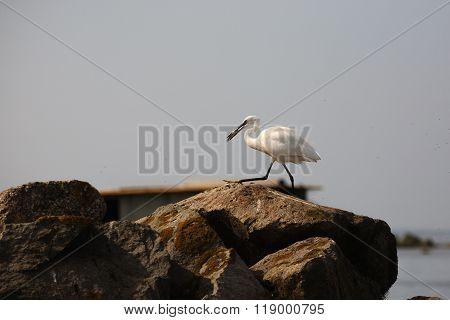 Great Egret, Birdwatching