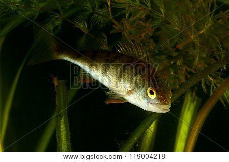 European Perch, Perca Fluviatilis