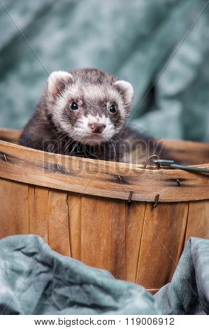 Ferret Pops Out From Basket.