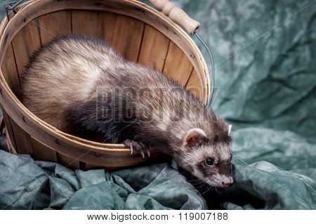 Ferret Crawls Out Of Basket.