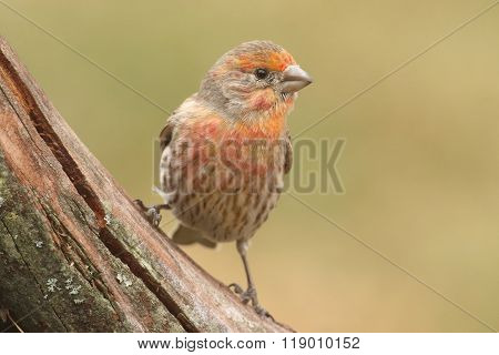 Orange Male House Finch (carpodacus Mexicanus)