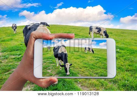 Hand Holding Smart Phone Take A Photo At Cows On A Green Field.