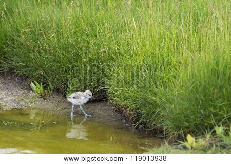 Pied avocet baby chick wading in water