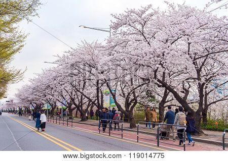 Seoul cherry blossom festival in Korea.