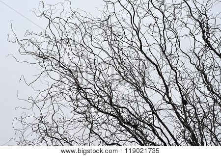 Leafless Tree Branches Perspective. Top Of Trees Against Sky
