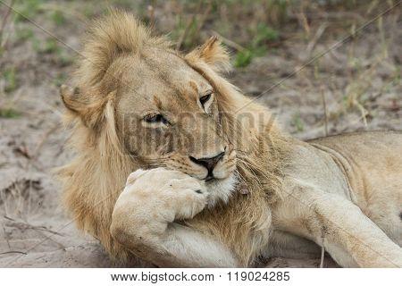 Lion Resting Chin