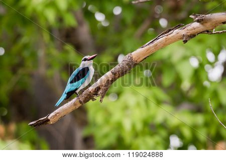 Woodland Kingfisher Okavango