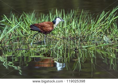 African Jacana In Kruger National Park, South Africa