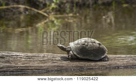 Angulate Tortoise In Kruger National Park, South Africa