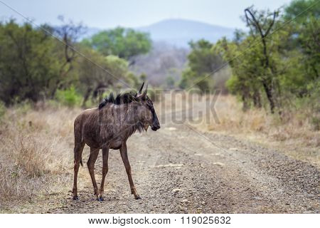 Blue Wildebeest In Kruger National Park, South Africa