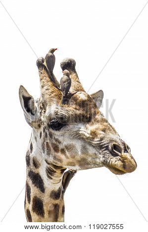 Giraffe Portrait Isolated In White Background
