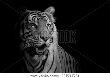 close up face tiger isolated on black color background