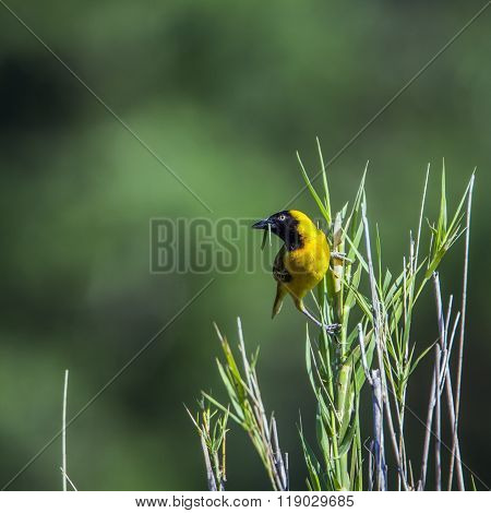 Lesser Masked Weaver In Kruger National Park, South Africa