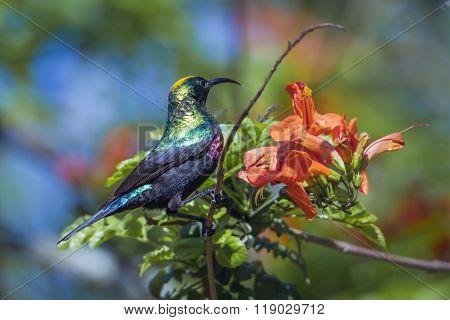 Mariqua Sunbird In Kruger National Park, South Africa
